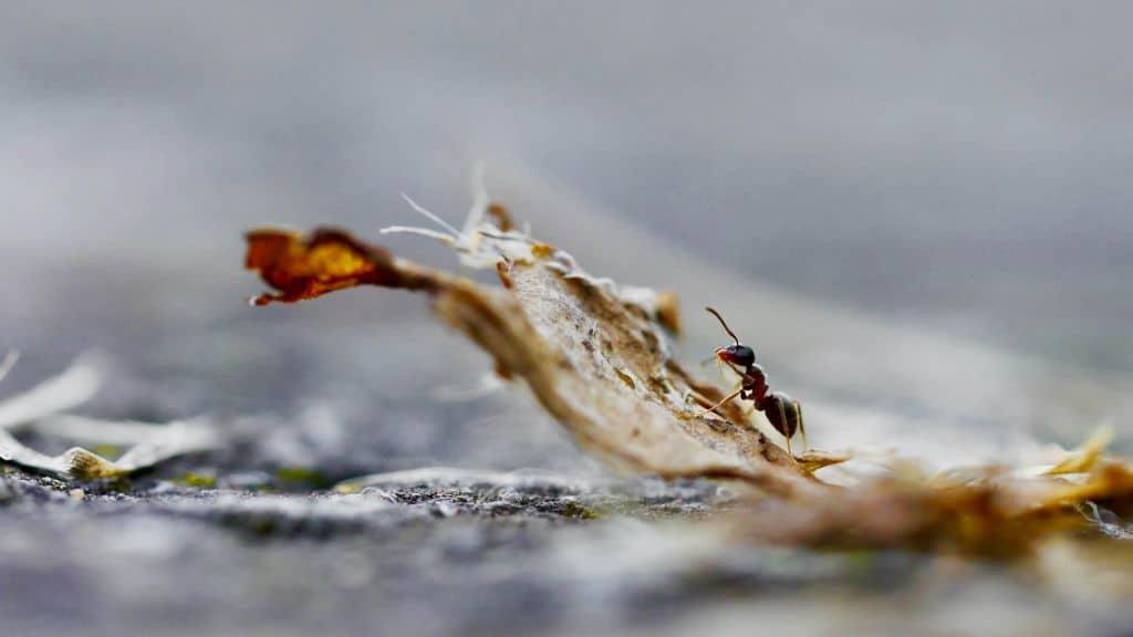 Mrówka wspinająca się na liść