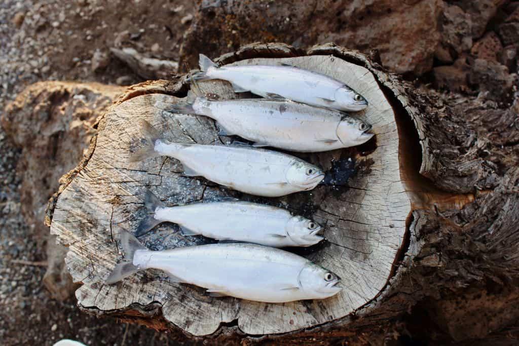 Ryby na pniu drzewa